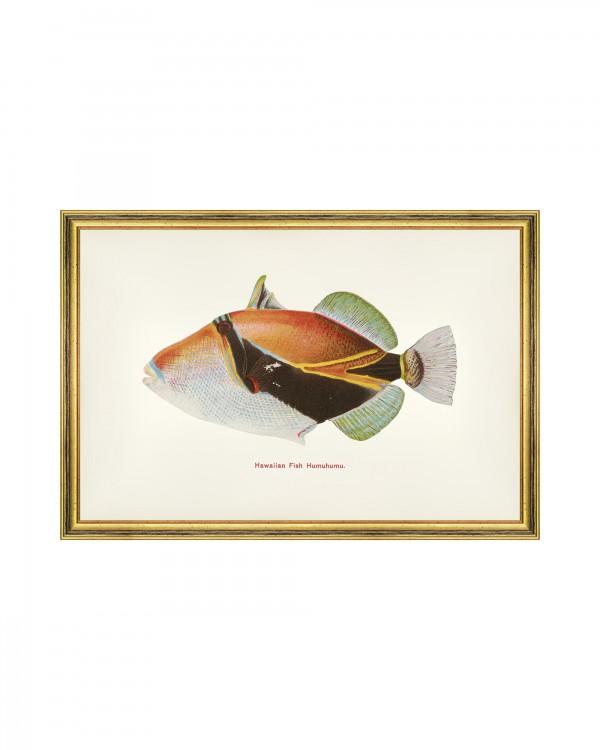 FISHES OF HAWAII - HUMUHUMU FISH Framed Art