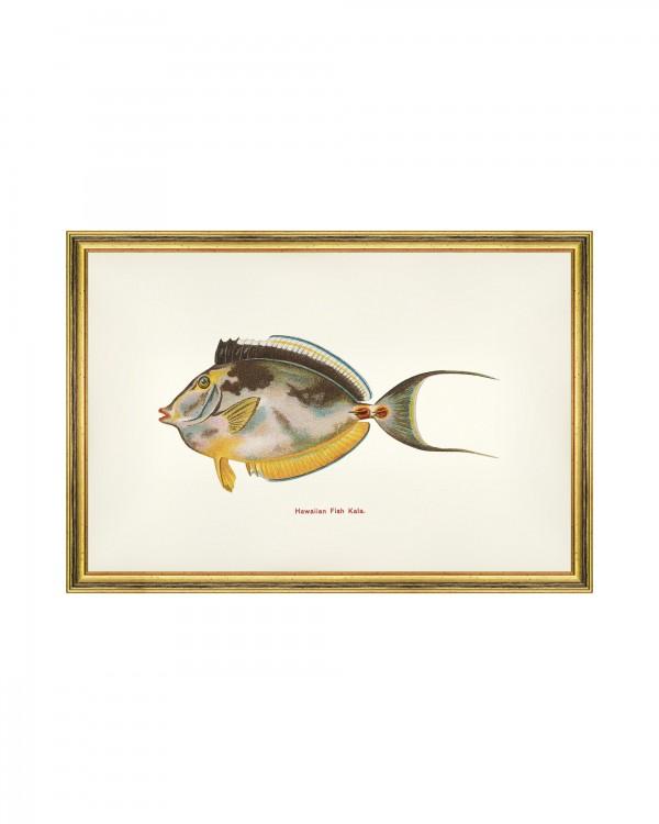 FISHES OF HAWAII - KALA FISH Framed Art