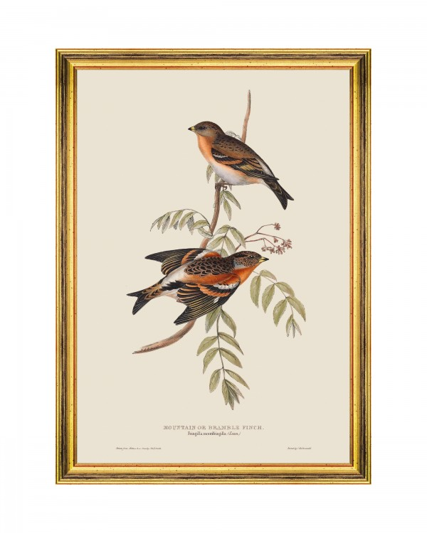 MOUNTAIN OF BRAMBLE FINCH Framed Art