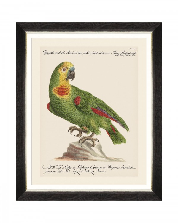 PARROTS OF BRAZIL II Framed Art