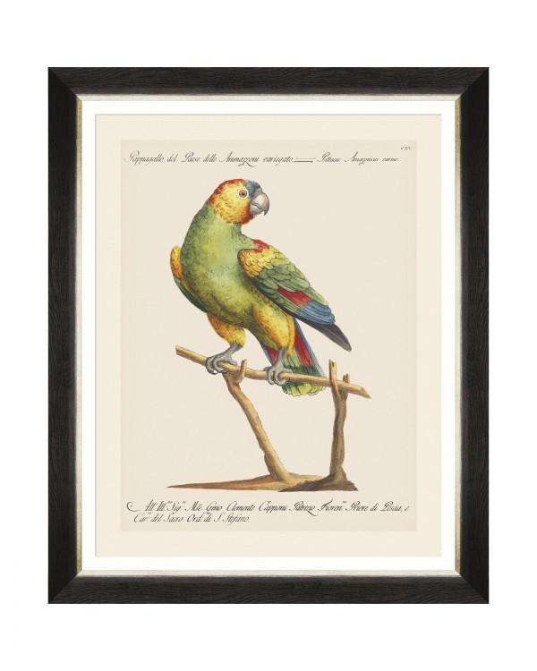 PARROTS OF BRAZIL VII Framed Art