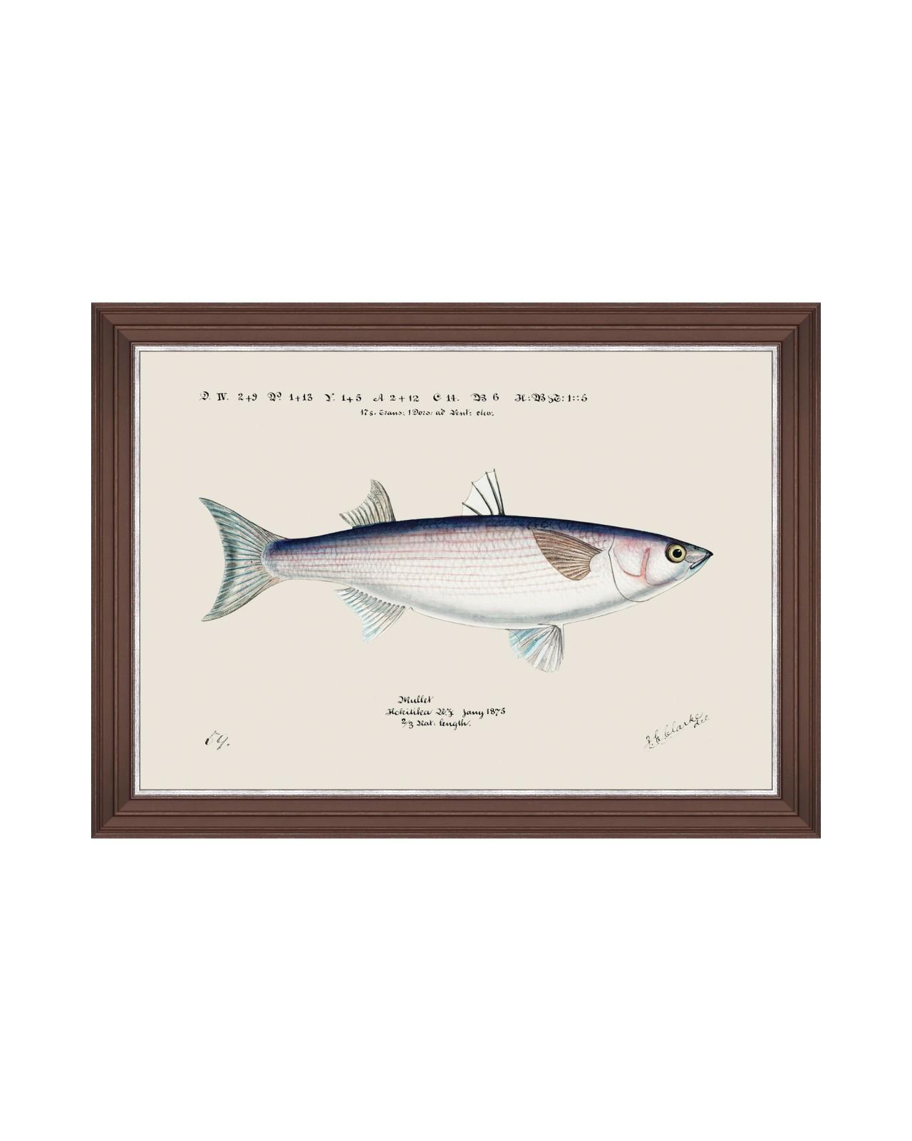 MEDITERRANEAN FISH - GREY MULLET by F Clark Framed Art