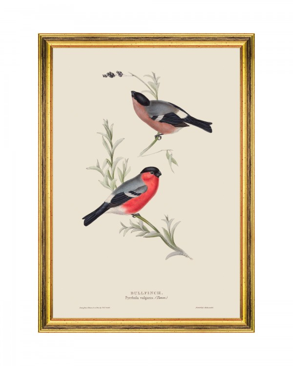 BULLFINCH Framed Art