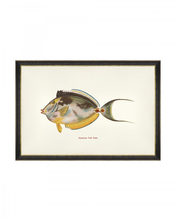 FISHES OF HAWAII - KALA FISH Framed Art
