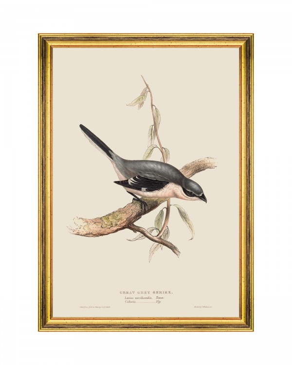 GREAT GREY SHRIKE Framed Art