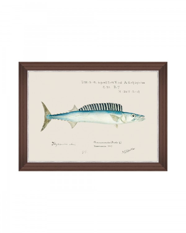 MEDITERRAEAN FISH - BARRACUDA by F Clark Framed Art