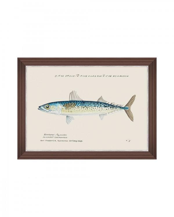MEDITERRAEAN FISH - BLUE MACKEREL by F Clark Framed Art