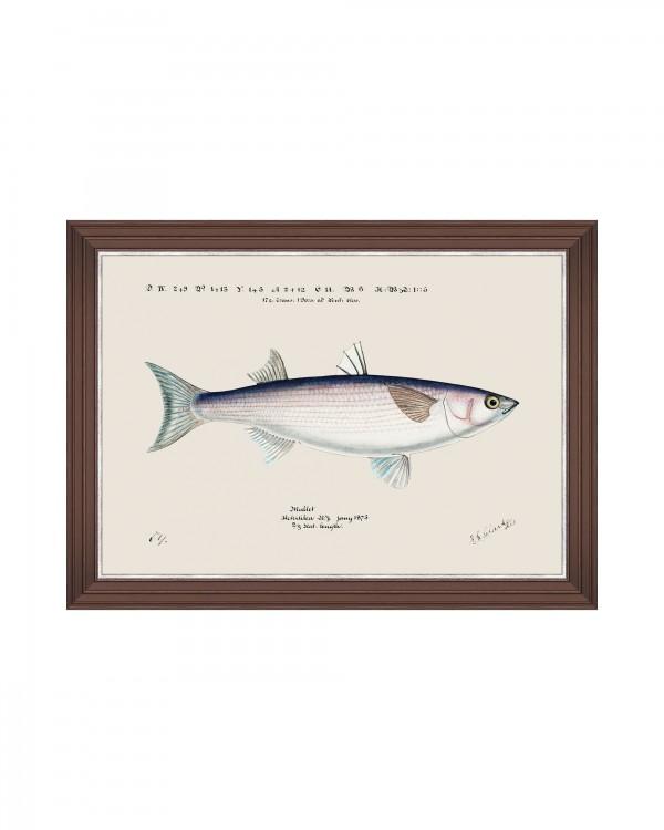 MEDITERRAEAN FISH - GREY MULLET by F Clark Framed Art