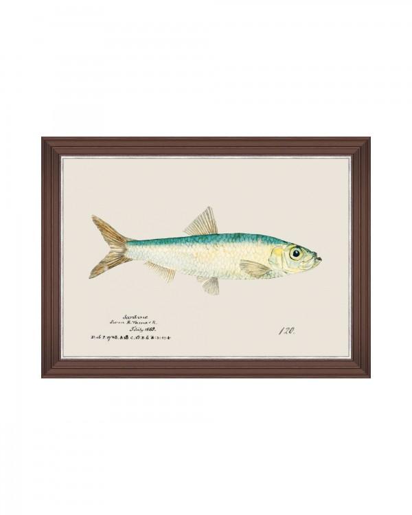 MEDITERRAEAN FISH - SARDINE by F Clark Framed Art