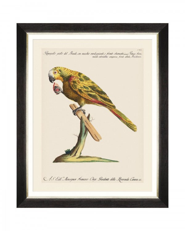 PARROTS OF BRAZIL IV Framed Art