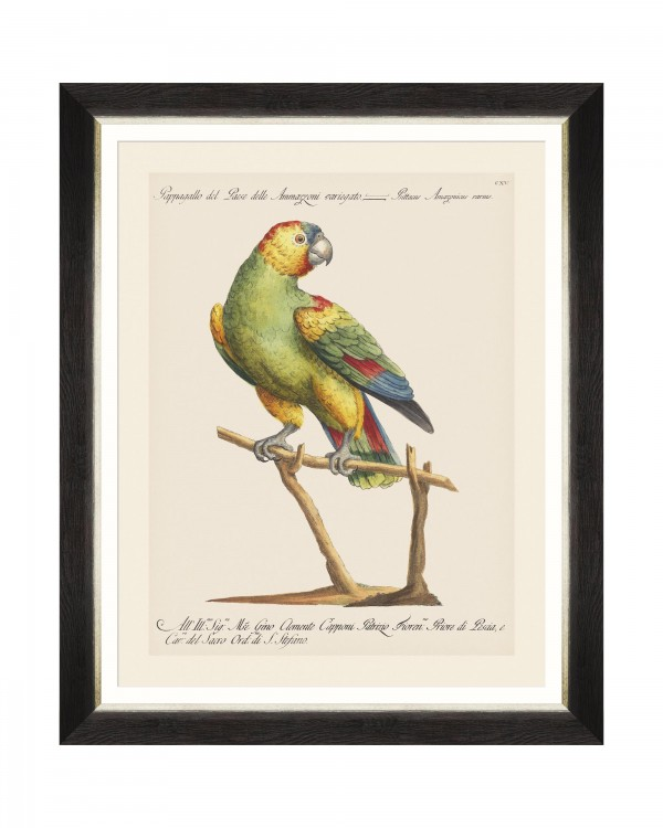 PARROTS OF BRAZIL VII Framed Art