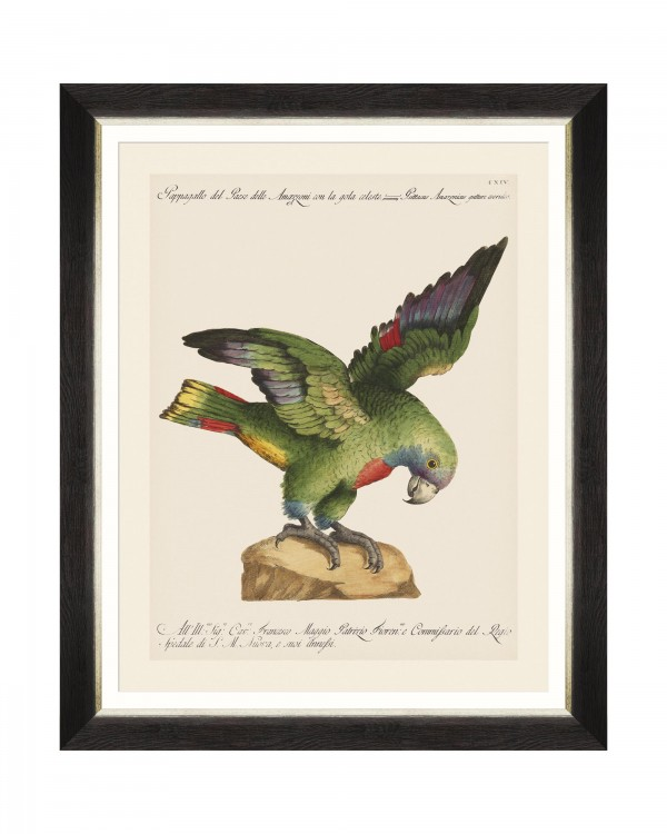 PARROTS OF BRAZIL XII Framed Art